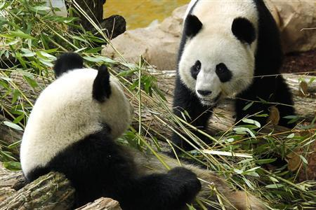 china to produce toilet papers from panda poop photo reuters