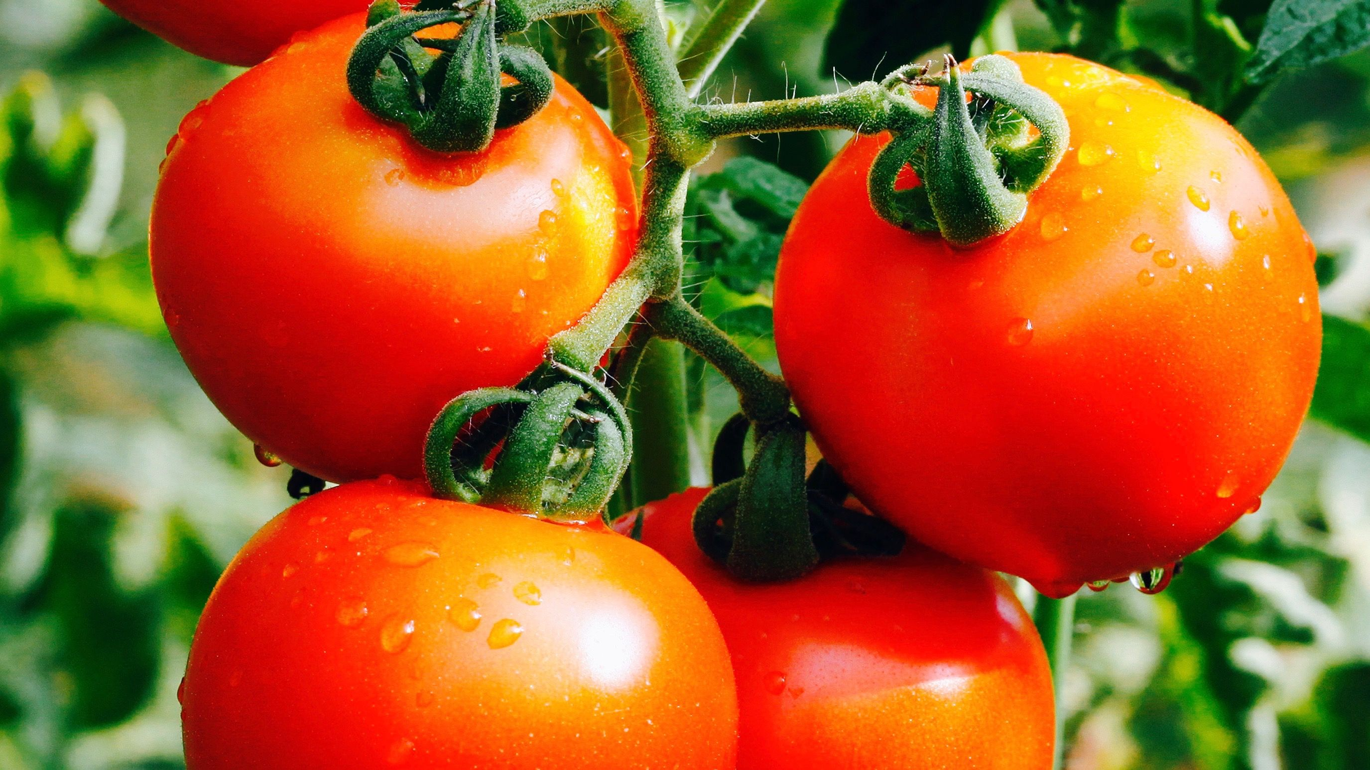 two tomatoes a day may keep lung disease at bay study