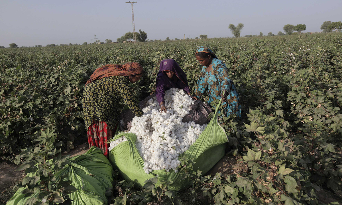 Women cotton pickers unload cotton blooms plucked from plants to make a bundle. PHOTO: REUTERS