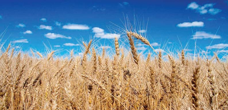 sindh chamber of agriculture fears decline in wheat production this season
