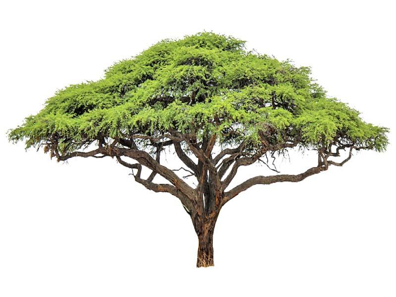 livestock food needs cholistan to get 70 000 acacia trees