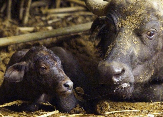 various measures have been taken to promote buffalo farming photo reuters