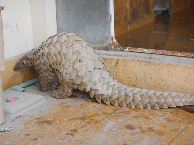 of the eight species of pangolins the indian pangolin manis crassudata is found in pakistan photo courtesy wwf pakistan