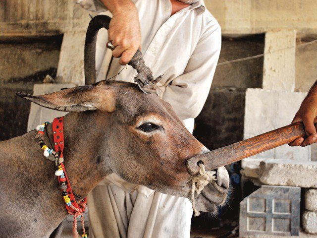 animal cruelty goes unchecked in south punjab photo file