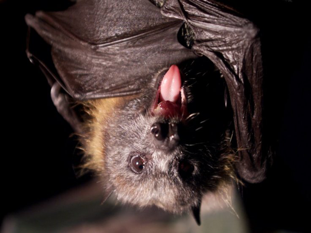 a species of vampire bat thought to feed only on birds has been caught snacking on human blood as disruption of its habitat in brazil is leading it to change its diet photo reuters file