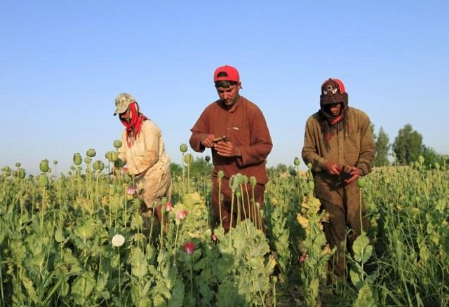 afghan men gather raw opium on a poppy field on the outskirts of jalalabad in this file photo photo reuters