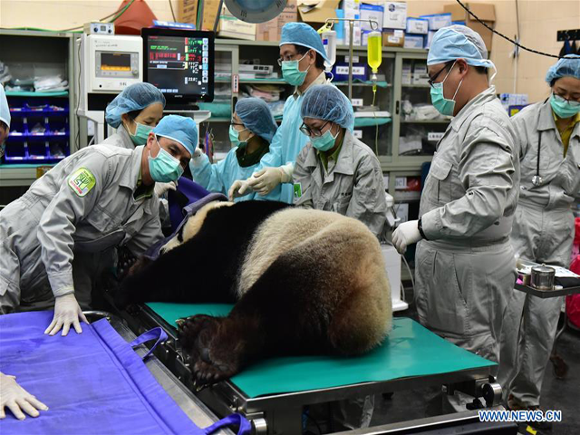 veterinarians of taipei zoo check a giant panda before artificial insemination in taipei southeast china 039 s photo courtesy xinhua