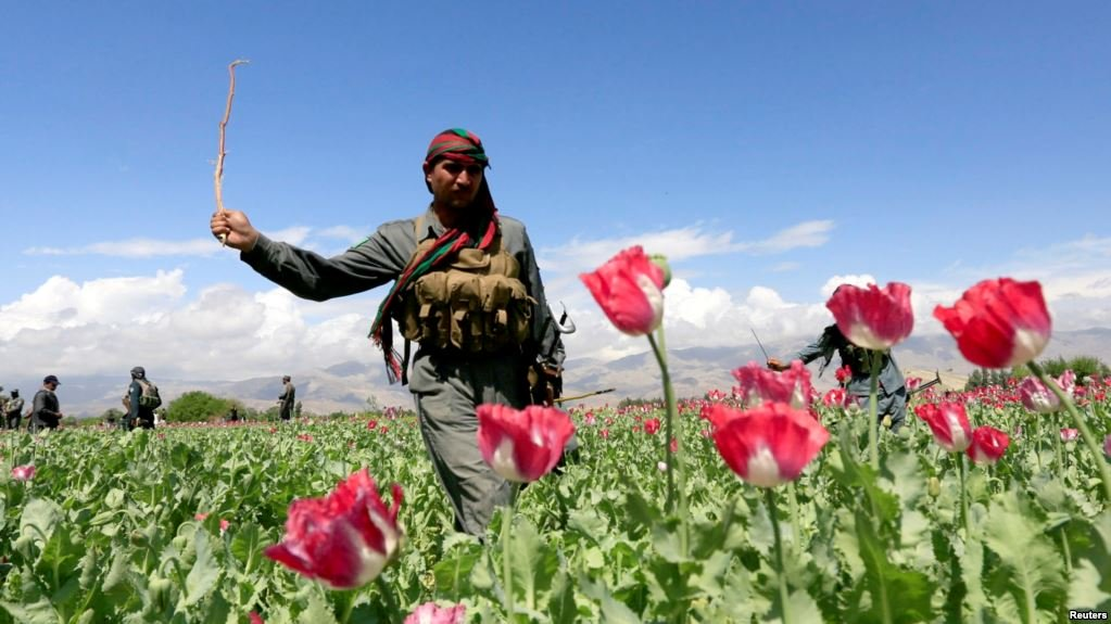 an afghan policeman destroys poppies during a campaign against the illegal narcotic crop photo reuters
