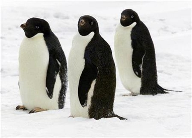 1 5 million penguins discovered on remote antarctic islands study