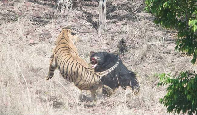 rumble in the jungle mother bear fights off indian tiger