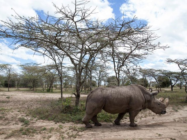 after health scare world s last male northern white rhino on the mend