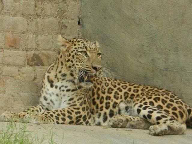 Climate change minister warns against overhunting of big cats PHOTO: EXPRESS
