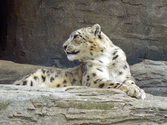 snow leopard dies at peshawar zoo