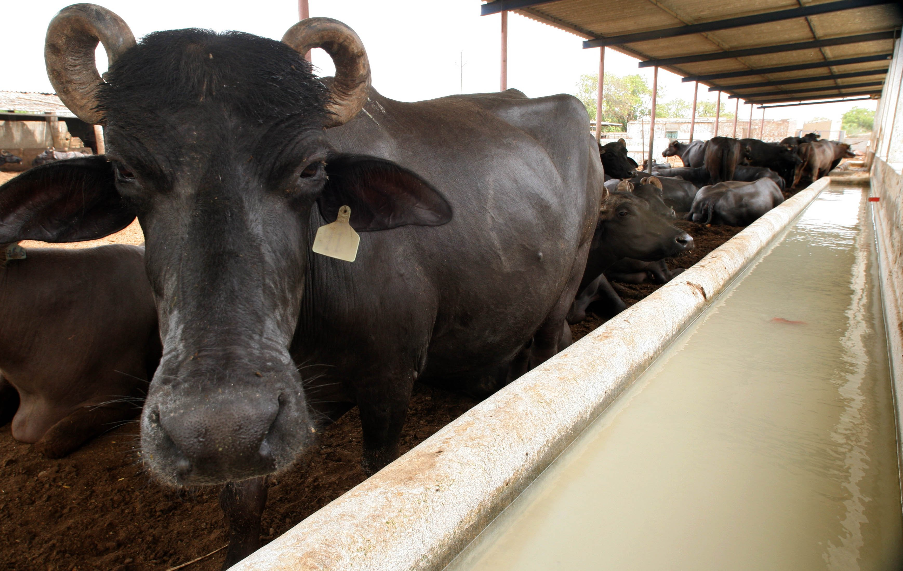 industry demands livestock and dairy policy