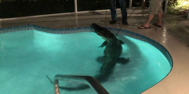 11 foot alligator takes a swim in couple s indoor pool in florida