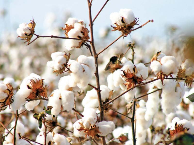 agriculture dept striving to achieve cotton sowing target