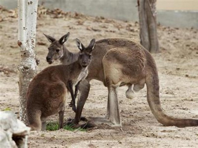 16 kangaroos on the loose as burglar damages fence during zoo robbery