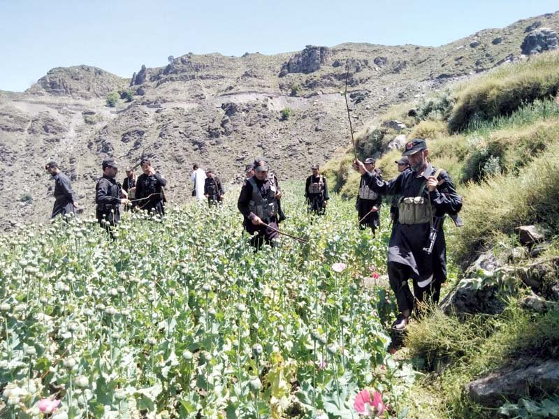 massive poppy crop destruction drive under way in fata agencies