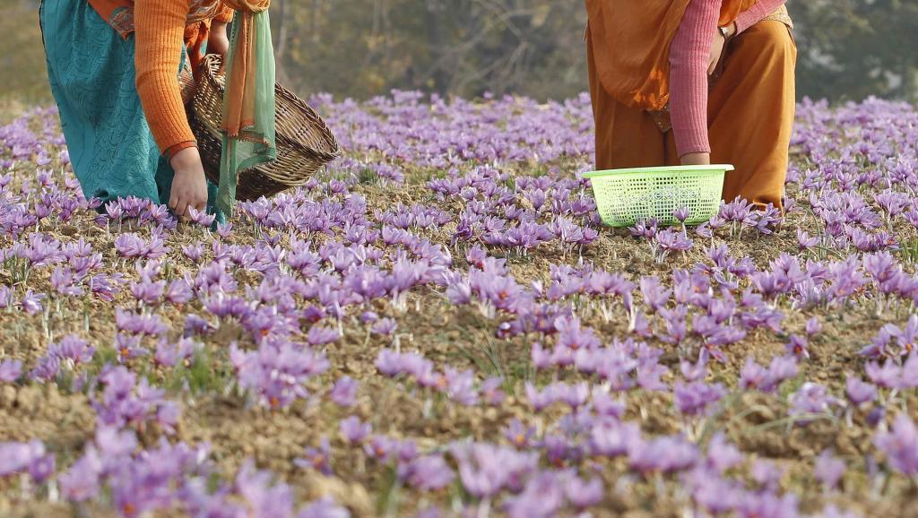 kashmiri villagers collect saffron flowers at a field photo reuters