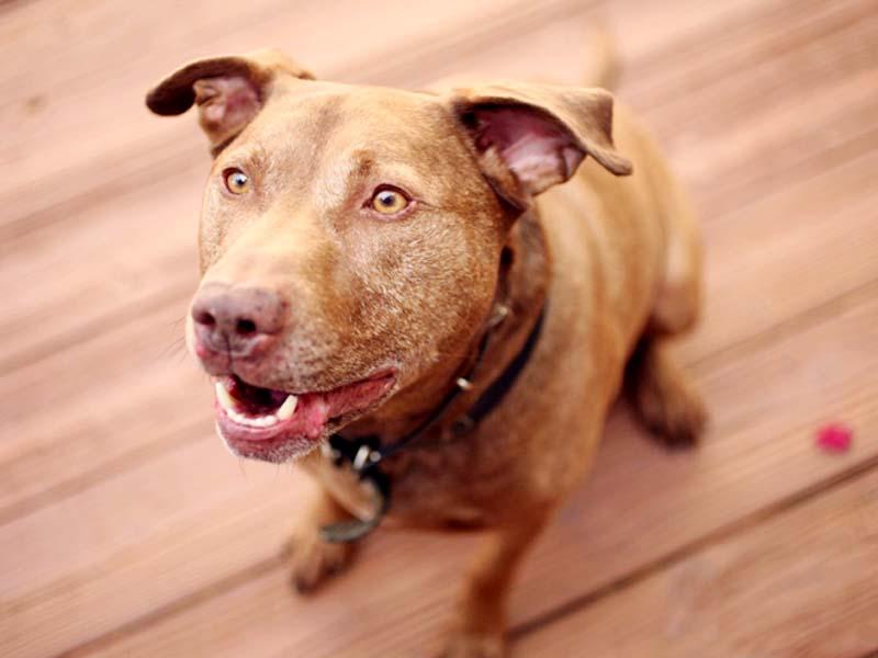 A pitbull Labrador crossbreed. PHOTO COURTESY: TELEGRAPH