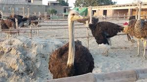 bahawalpur zoo gets pair of ostriches