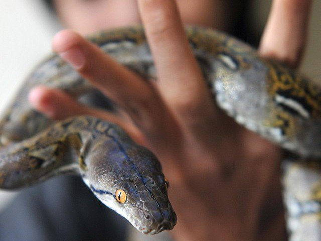 nurse survives deadly australia snake bite using training