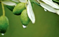 olive valley teeming with nine million plants