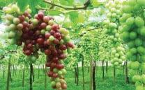 potohar starts reaping rich harvests