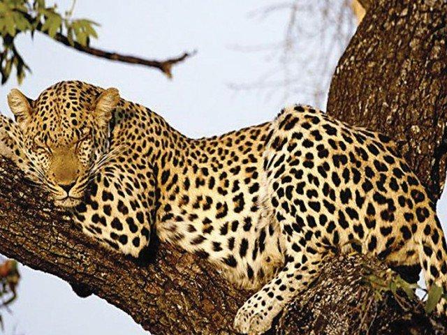 sri lankan police arrest villagers for killing leopard