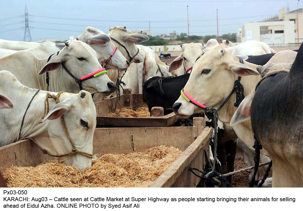 cattle market stocked with sacrificial animals