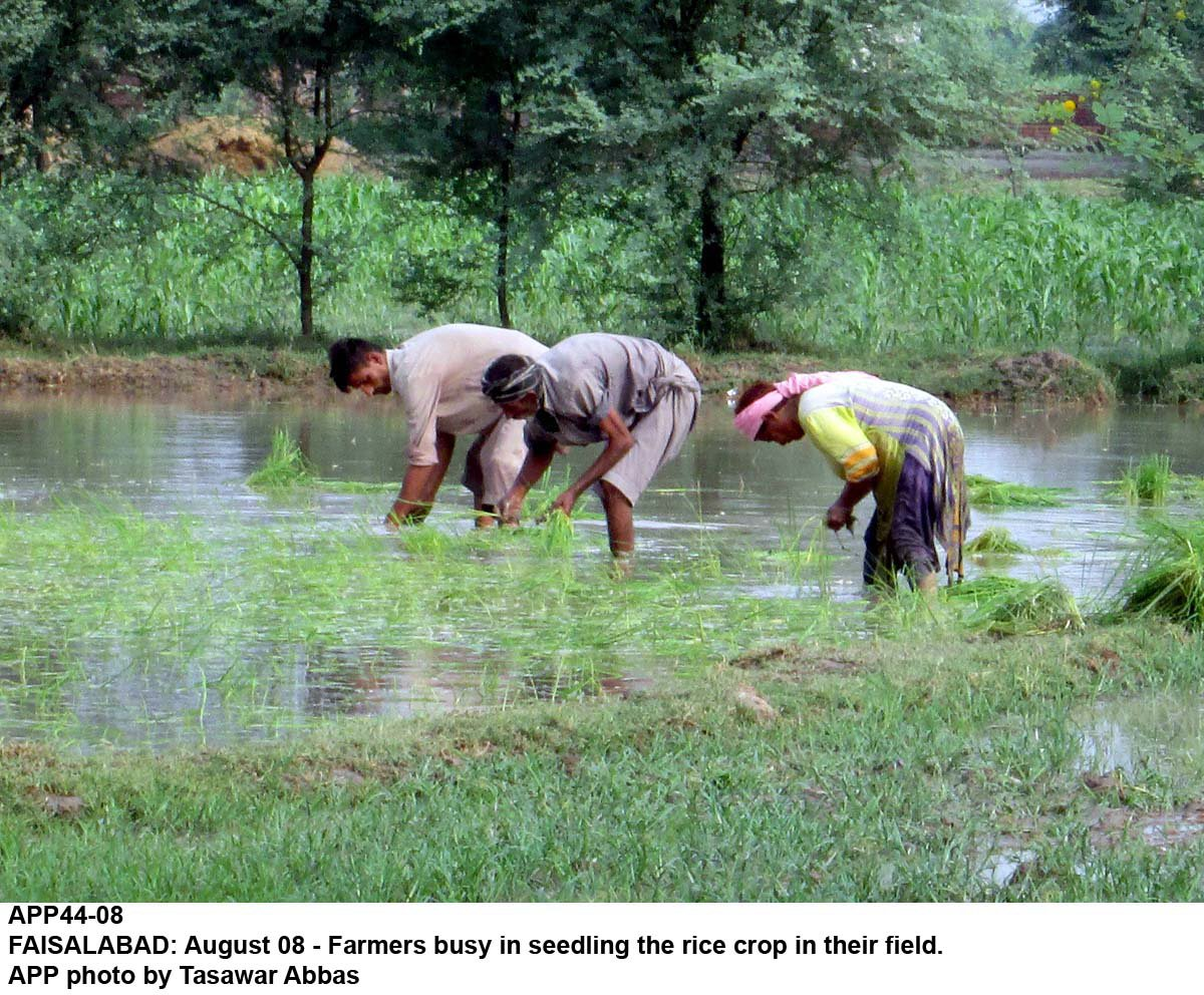 rice crop in danger due to water shortage