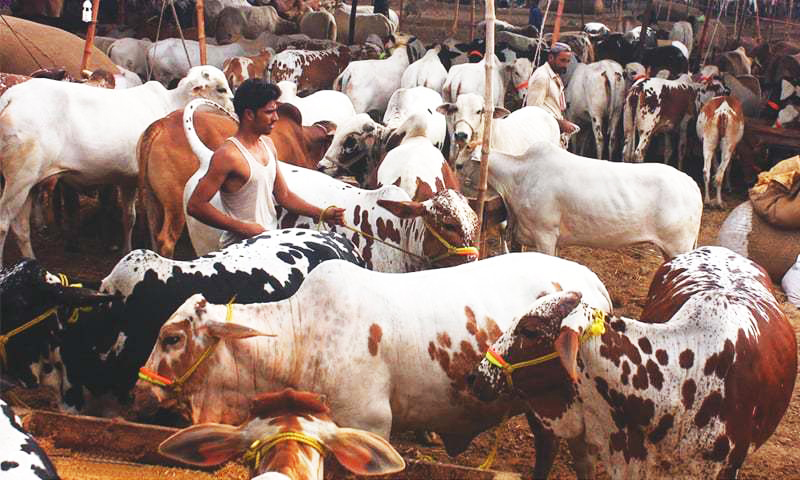 in the capital sharp rise in sacrifices on eidul azha this year