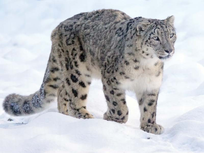 snow leopards imperative part of ecosystem experts