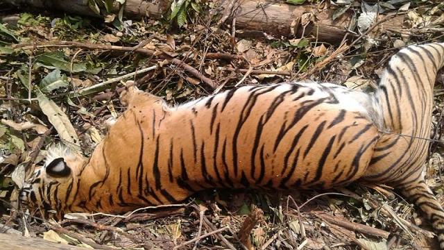 rare sumatran tiger found dead in indonesia