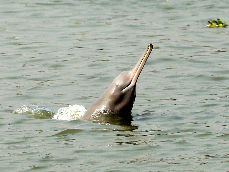 A file photo of an Indus Dolphin. PHOTO: EXPRESS
