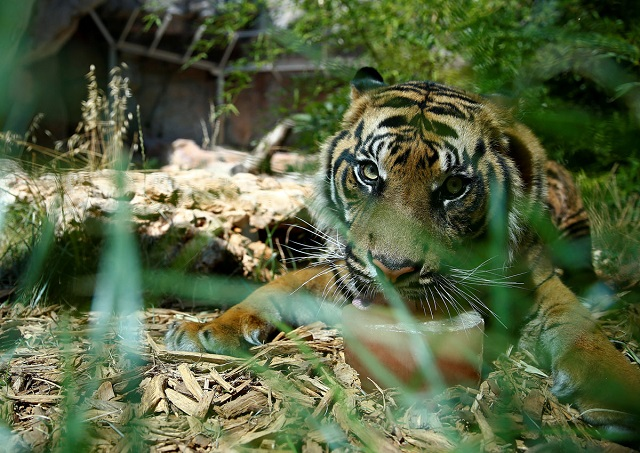a sumatran tiger licks a frozen blood lollipop on a hot summer day at the bioparco zoo in rome italy june 27 2017 photo reuters