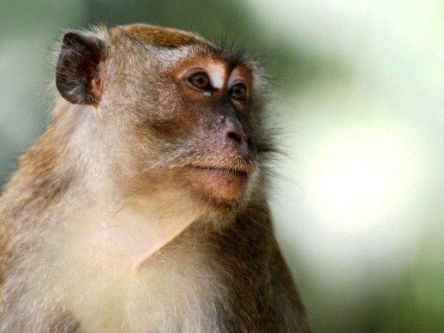 cda officials blame monkeys for damaging street lights in islamabad