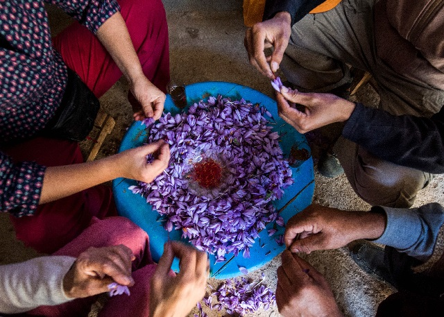 moroccan saffron farmers battle knockoff spices