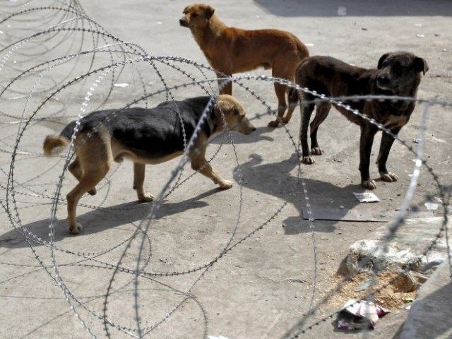 stray dogs become a nuisance for pindi people