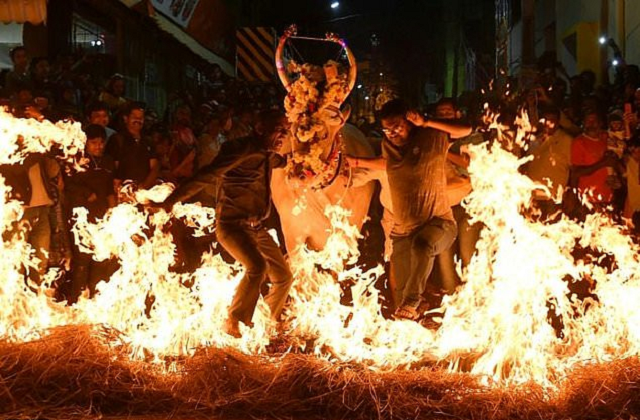 cows walk on fire in india s harvest festival