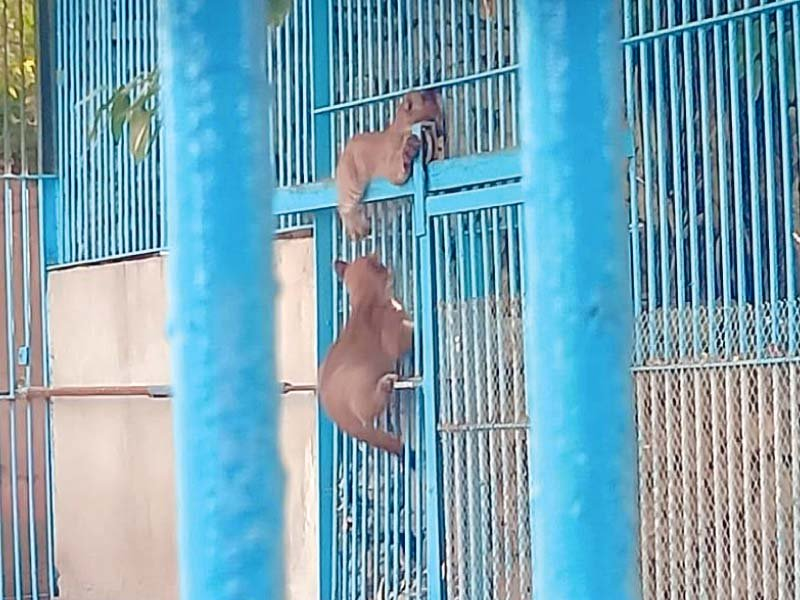 canadian puma cubs welcomed at karachi s korangi zoo