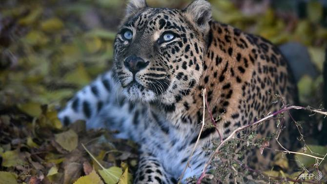 leopard attacks leave islamabad villagers fearing for their lives