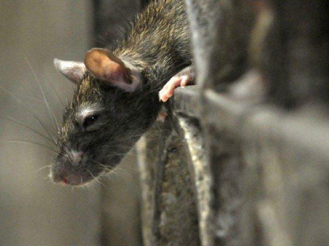 rats los angeles city hall battles rodent infestation