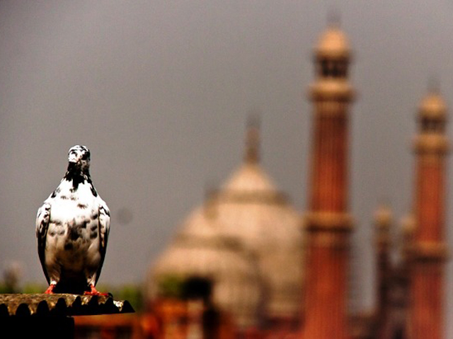 wild pigeon numbers steadily dwindling in lahore