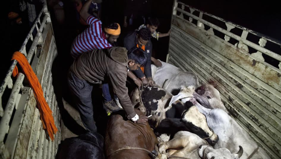 The slaughter of cows, which are revered by Hindus is a powder-keg issue in secular India. PHOTO COURTESY: HRW