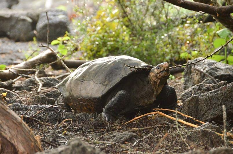 Newly rediscovered Fernandina Giant Tortoise, which was long considered as an extinct species. PHOTO COURTESY: GALAPAGOSCONSERVANCY