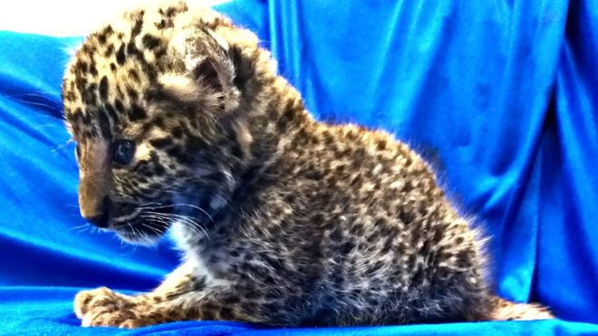 rare leopard cub released into the wild after rescue
