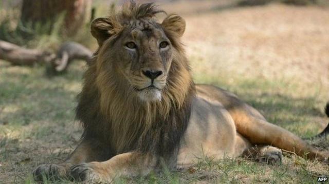 Asiatic lion. PHOTO:AFP/FILE