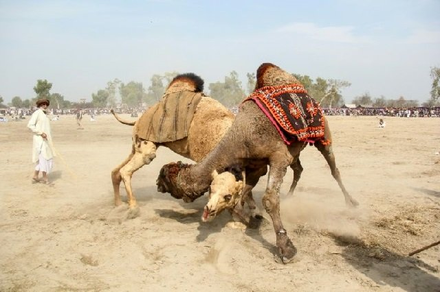 camels fight at an annual festival in rajin shah in pakistan    a practice that is officially banned but remains popular photo afp