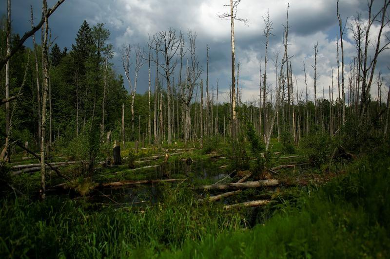 a reuters file photo of the bialowieza forest in europe
